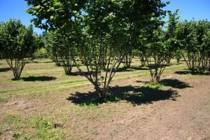 Truffle Orchard