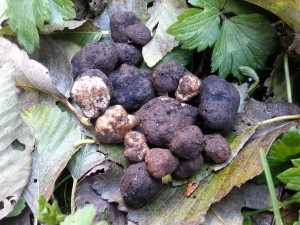 Truffle Harvest October 2013